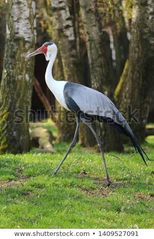Wattled Crane (Bugeranus carunculatus) Stock photo © dirkr
