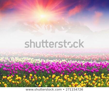 赤 · チューリップ · 春 · 雨 · スプリンクラー · 虹 - ストックフォト © ifeelstock