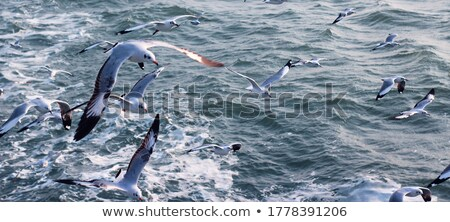 sea gulls fly behind a ship stock photo © nessokv