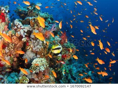 korall · hal · Vörös-tenger · Egyiptom · elöl · pillangó - stock fotó © mikko