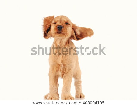 cute beige doggy over white Stock photo © taviphoto