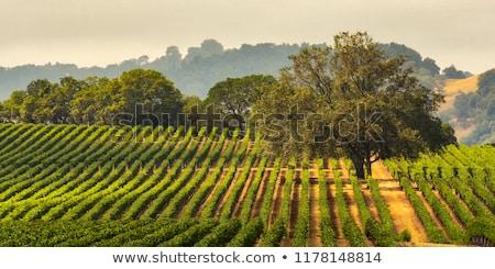 Weelderig groene Californië druiven wijnstok textuur Stockfoto © emattil