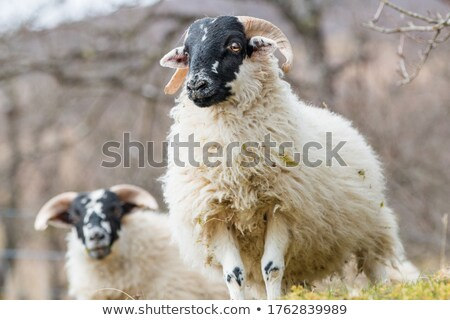 white sheep on the kerry way Stock photo © morrbyte