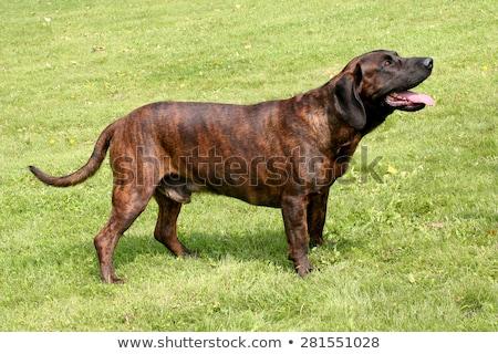 Ritratto cane giardino triste animali divertente Foto d'archivio © CaptureLight