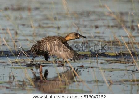 White backed Duck (Thalassornis leuconotus) Stock photo © chris2766