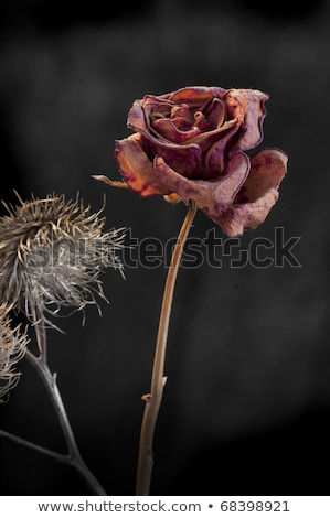 Duality of wilting rose and thistle  on dark background Stock photo © flariv