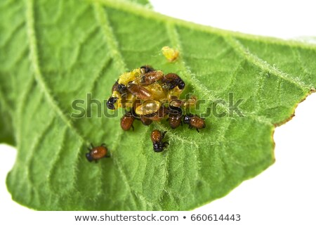 Potato bug larvae feeding on a plant leaf Stock photo © stevanovicigor