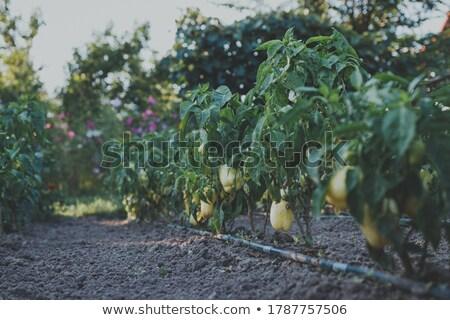 Bio pimientos jardín formas fondo Foto stock © Peteer