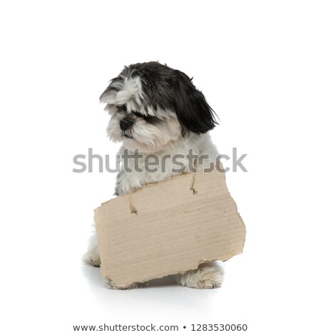 Сток-фото: Cute Shih Tzu Wearing Carton Sign Around Neck Sitting