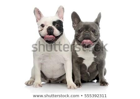 Studio shot of two adorable French bulldog Stock photo © vauvau
