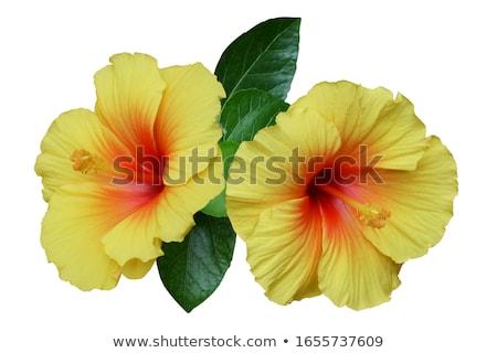 sarı · ebegümeci · doğa · bahçe · bitkiler · beyaz - stok fotoğraf © zhekos