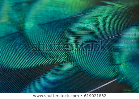 Peacock feather close up Stock photo © dmitry_rukhlenko