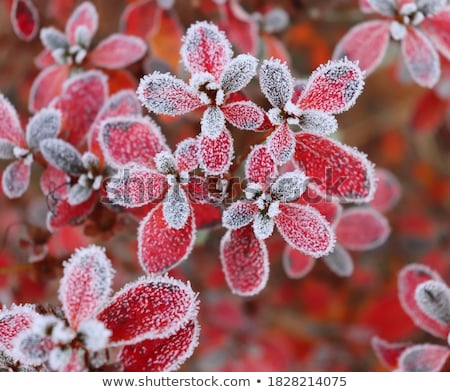 Shot Rood blad sneeuw boom Stockfoto © alexandkz