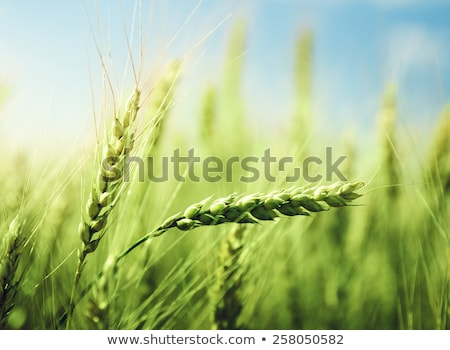 緑 小麦 春 夏 フィールド 農業 ストックフォト © dinozzaver