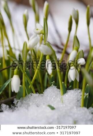 Snowdrops in the snow springtime Stock photo © phila54