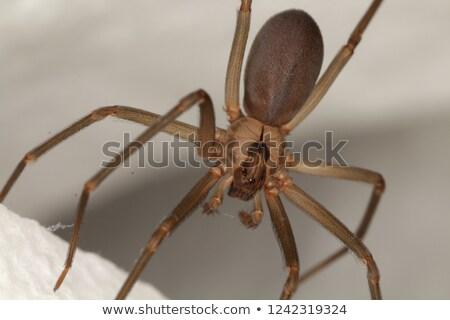 barna · pók · zöld · fal · makró · természet - stock fotó © jonnysek