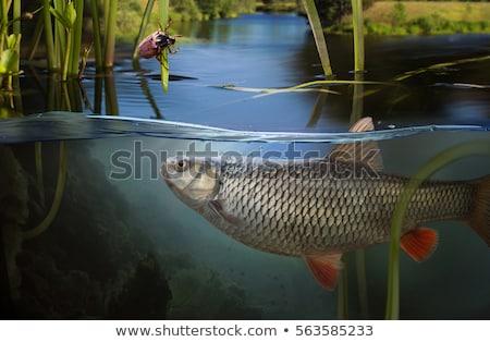尾 · 魚 · 孤立した · 白 · 食品 · オレンジ - ストックフォト © foka