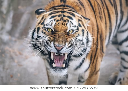 growling tiger Stock photo © OleksandrO