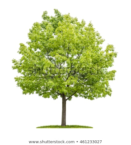 isolated red oak tree on a white background Stock photo © Zerbor