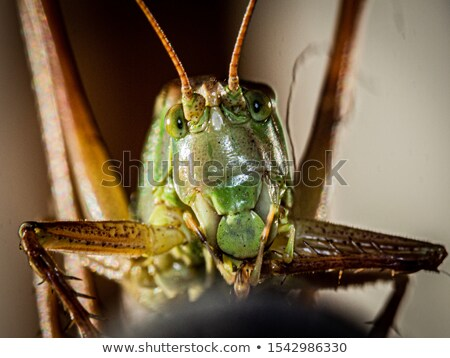 grasshopper from front Stock photo © Rob_Stark
