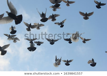 flock of pigeons in flight Stock photo © taviphoto