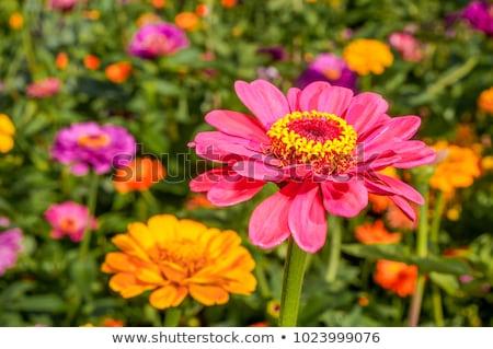 花 · 自然 · 庭園 · 背景 · 植物 · 花弁 - ストックフォト © Avlntn