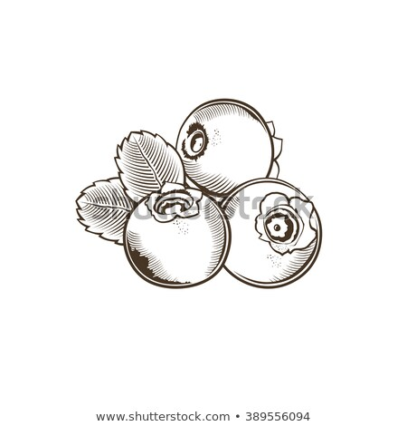 Bilberry in vintage style. Line art vector illustration Stock photo © ConceptCafe