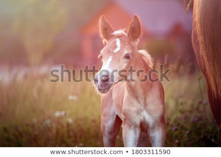beautiful horses stock photo © joyr