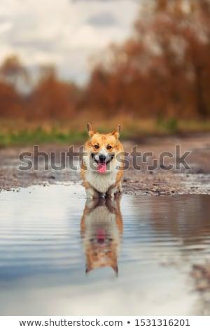 Dog standing on a road Stock photo © olira