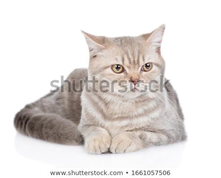 White and grey cat Stock photo © dutourdumonde