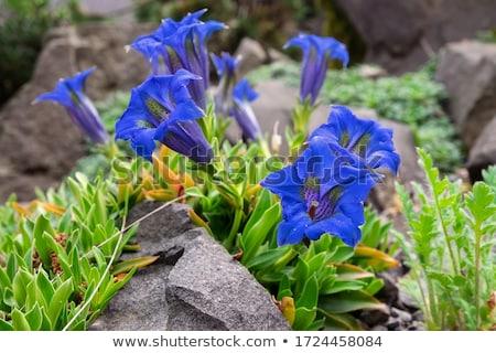 Jeunes bleu feuilles vertes fleur jardin vert Photo stock © hraska