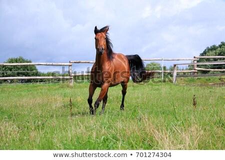 Stock photo: horses and paddock