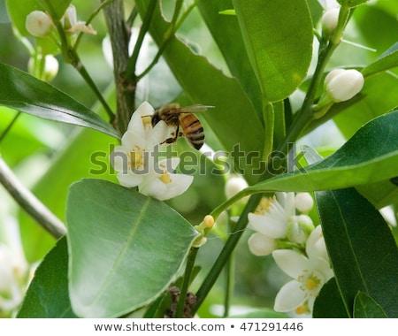 Narancsfa virágok méh tavasz levél kert Stock fotó © lunamarina