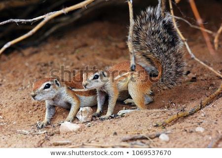 Southern African Ground Squirrel (Xerus inauris) Stock photo © dirkr