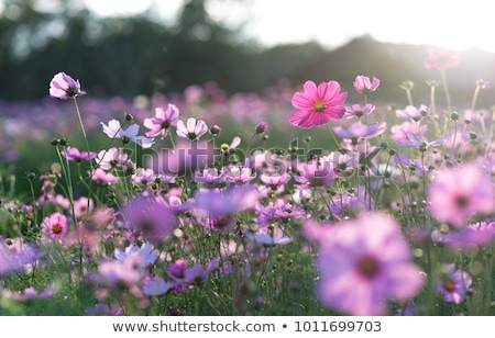 Pôr do sol campo flores Tailândia céu Foto stock © lukchai