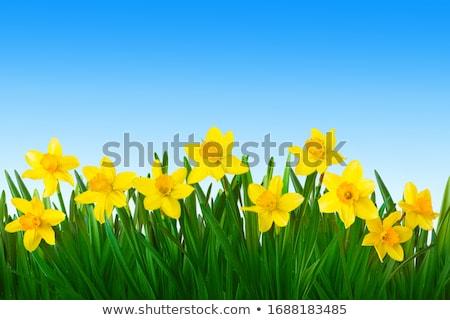Geel narcis Blauw natuur ruimte groene Stockfoto © erierika