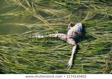 лягушка · ручей · макроса · выстрел · сидят · весны - Сток-фото © kayco