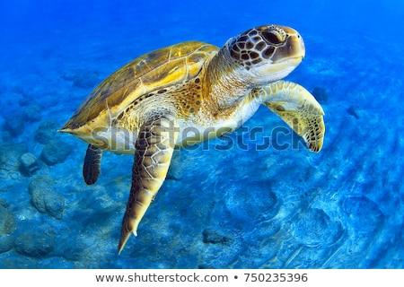 Head of a Green Sea Turtle in the Water. Stock photo © JFJacobsz