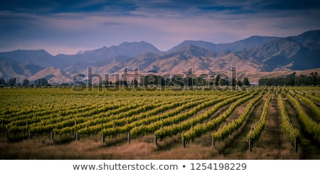 White grapes in Marlborough, new zealand Stock photo © Hofmeester