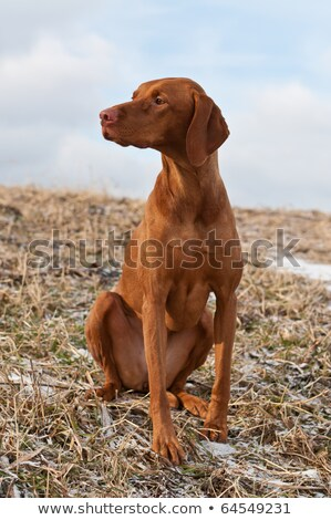 Hungarian Vizsla Dog Portrait with Blue Sky Stock photo © brianguest