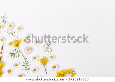Yellow chamomile flowers Stock photo © boggy