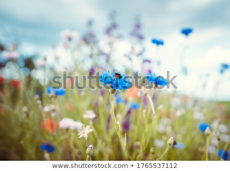 Summer meadow with bee collecting nectar in a corn flower Stock photo © Kzenon