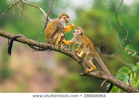 Veveriţă maimuţă ramură relaxa ceas camera de zi Imagine de stoc © Suriyaphoto