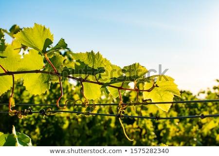 backlit vineyard leaf Stock photo © taviphoto