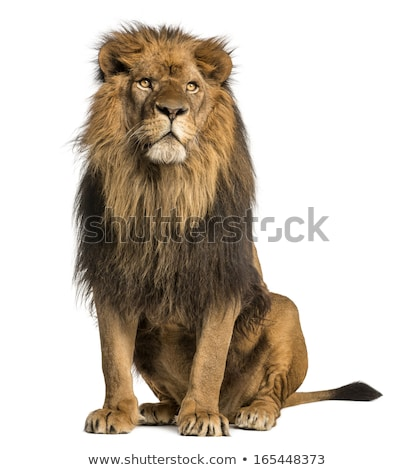 Lion Sitting stock photo © pcanzo