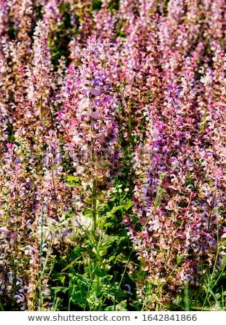 Salvia foglia Foto d'archivio © LianeM