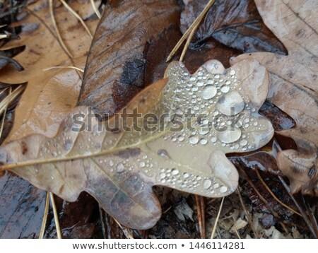 Rovere foglie texture luce foglia giardino Foto d'archivio © compuinfoto