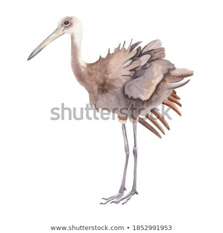 Limpkin Bird Stock photo © saddako2