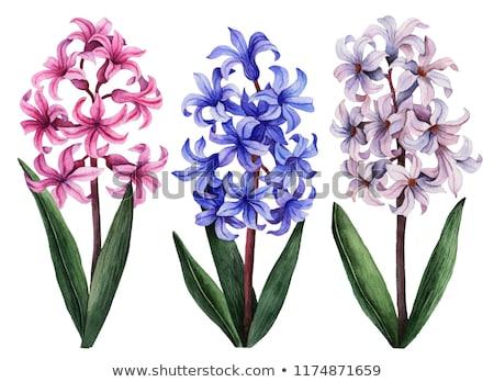 Jacinthe fleurs floraison printemps jardin soleil Photo stock © EFischen