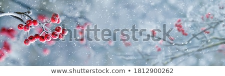 Foto stock: Invierno · bayas · cubierto · pequeño · helado